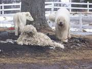Komondor Livestock guard Puppies for sale