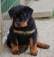 Holiday Gigantic Rottweiler puppies ready now!!!!!! - Please Contact