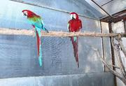 OUTSTANDING BABY GREENWING MACAW  PARROTS FOR CHRISTMAS